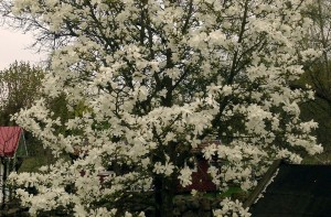 Magnolian blommar utanför Torsås Fajans krukmakeri.